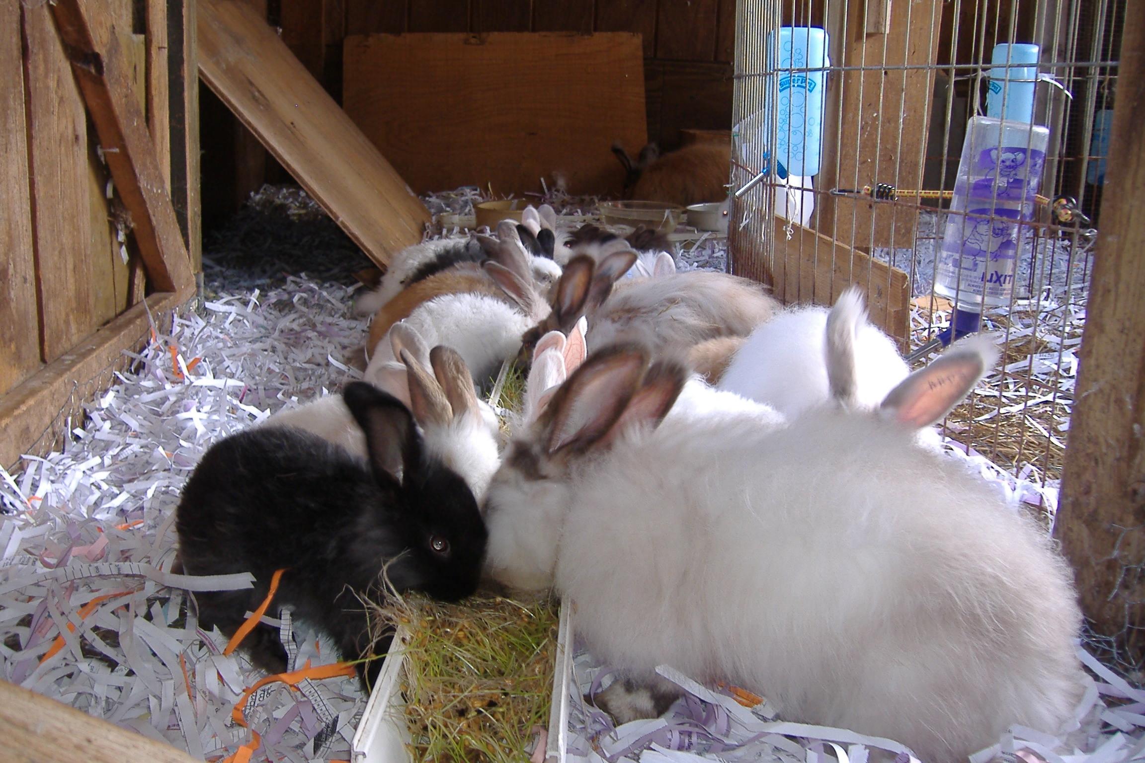german giant angora hybrid rabbits starlight hill farm